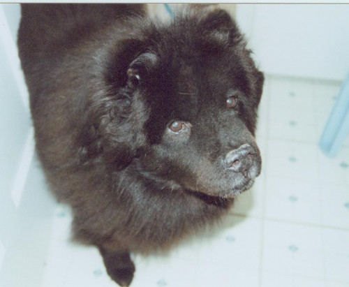Shadow the Chow-Chow