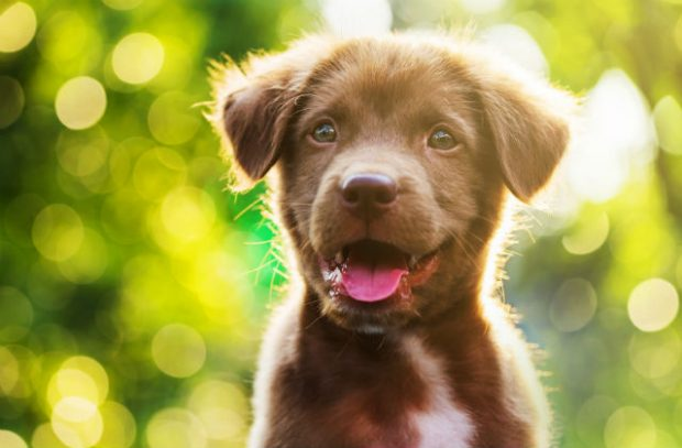Brown puppy with happy expression